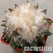 Ariocarpus retusus · SB 334 2
