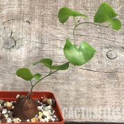 Dioscorea elephantipes4