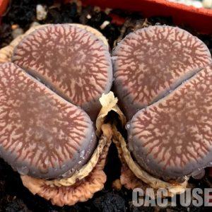 Lithops aucampiae subs. euniceae C048 (2)