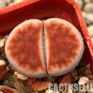 Lithops karasmontana v. laterita 'Blood Red' (5)