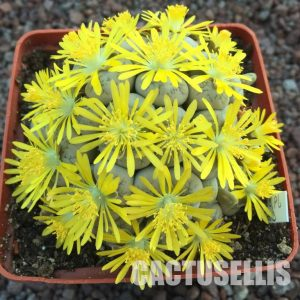 Lithops werneri C188