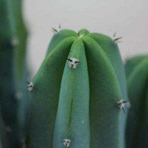 Myrtillocactus geometrizans (4)