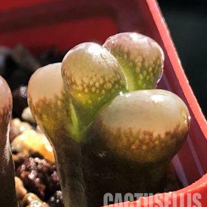 Ophthalmophyllum triebneri, Poffadder (2)