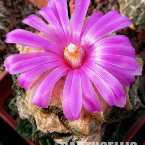 ariocarpus fissuratus v hintonii1