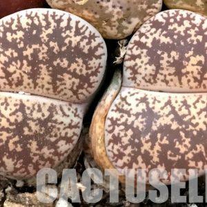 50 SEEDS Lithops lesliei ssp. lesliei v. venteri F 1089, rare mesemb