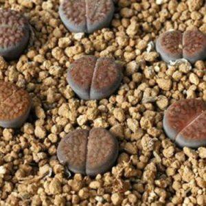 50 SEEDS Lithops schwantesii ssp. gebseri C65, mesemb living stones