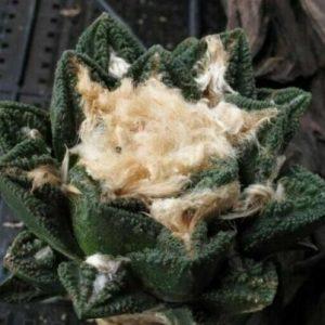 Ariocarpus bravoanus