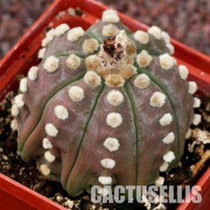 Astrophytum asterias cv. Ooibo v. nudum