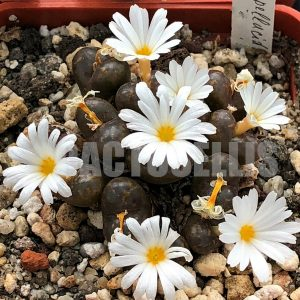 Conophytum pellucidum; Brakwater, N of Kamieskroon