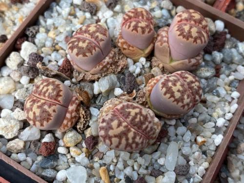 Lithops dorotheae.