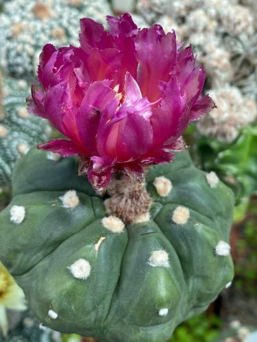 Astrophytum asterias with pink flowers, clone 6.