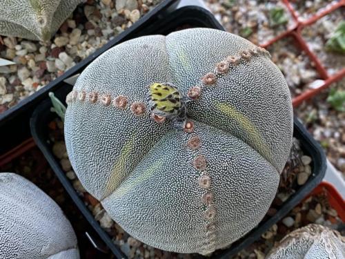 Astrophytum myriostygma 3 ribs variegata.