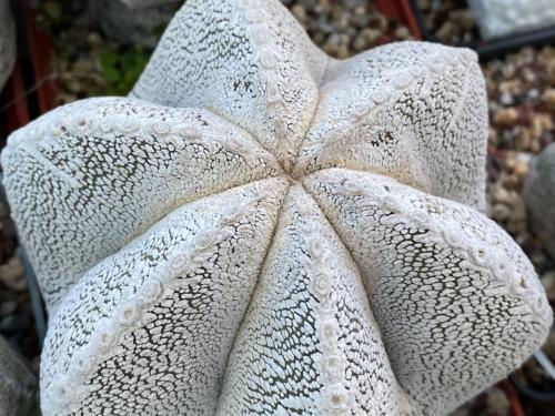 Astrophytum myriostygma cv. onzuka.
