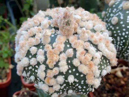 Astrophytum asterias cv. Hanazono.