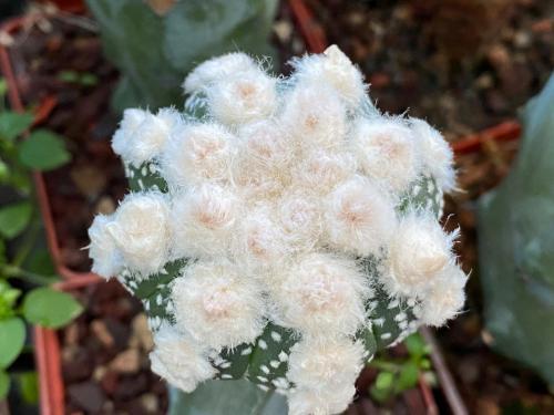 Astrophytum asterias cv. Oibo, F2.