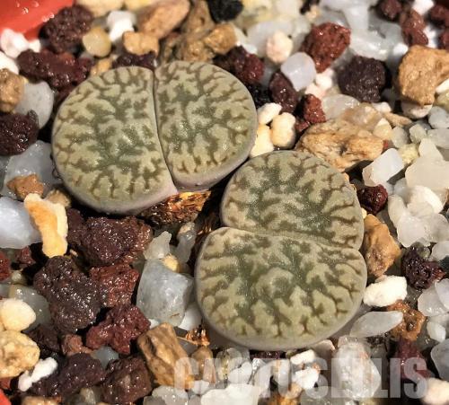 Lithops hookeri suzannae, Cole 091
