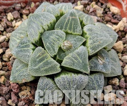 Haworthia pygmaea var. crystallina.
