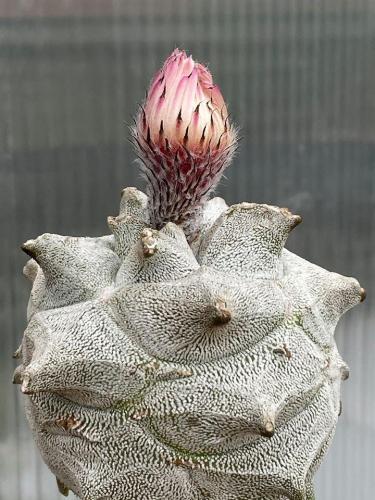 Astrophytum myriostygma cv. extreme kikko