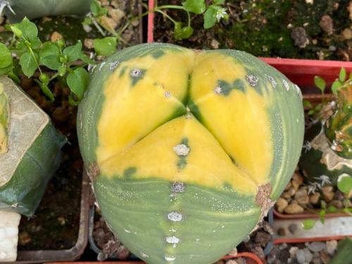 Astrophytum myriostygma 3 ribs variegata
