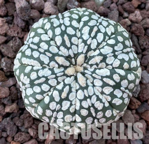 Astrophytum asterias cv. Super Kabuto.
