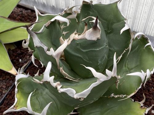 Agave titanota 'white thorn'.